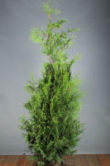 Lebensbaum 'Excelsa' Wurzelballen 175-200 cm Wurzelballen