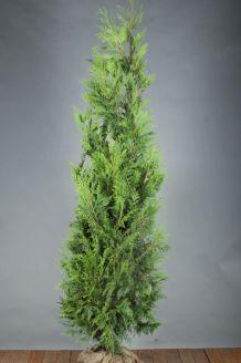 Lebensbaum 'Excelsa' Wurzelballen 200-225 cm Wurzelballen