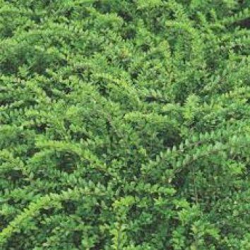Heckenmyrte 'Maigrün'