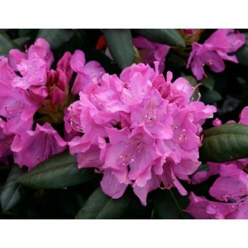 Rhododendron Roseum