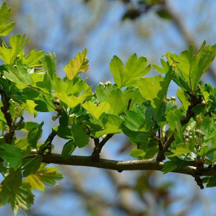 Heckenpflanzen Eingriffeliger Weißdorn Wurzelware 50 bis 80 cm 50 Stück