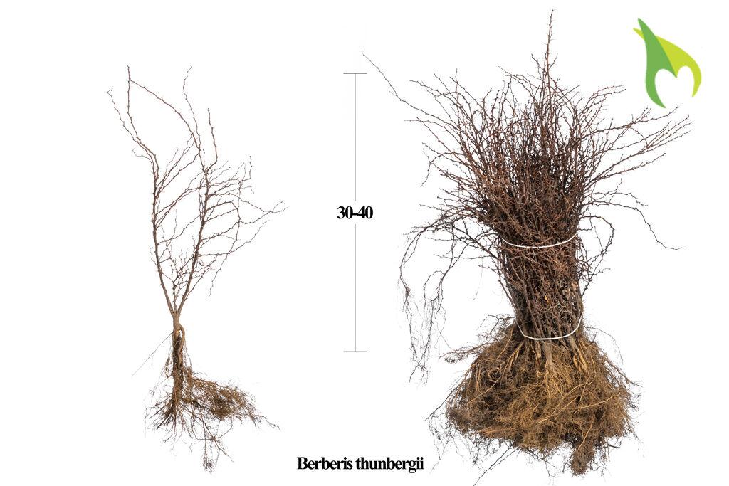Berberitze (30-40 cm) Wurzelware