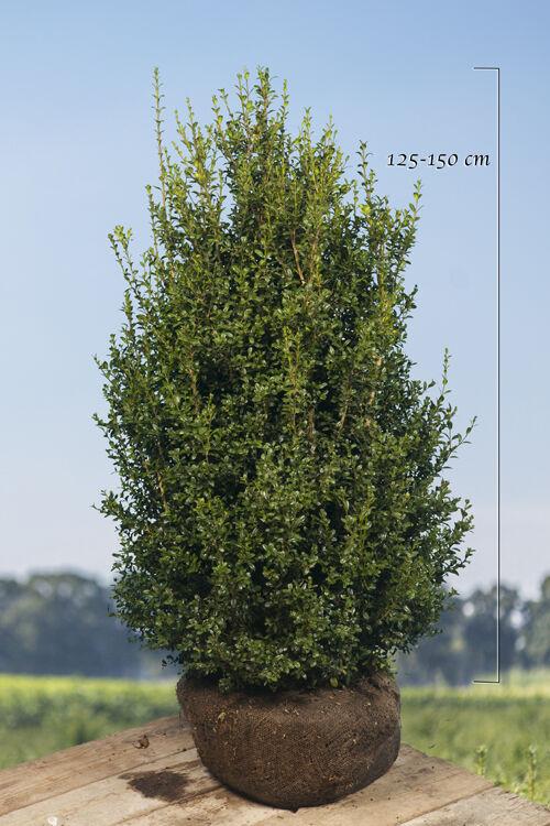 Buchsbaum (125-150 cm) Wurzelballen