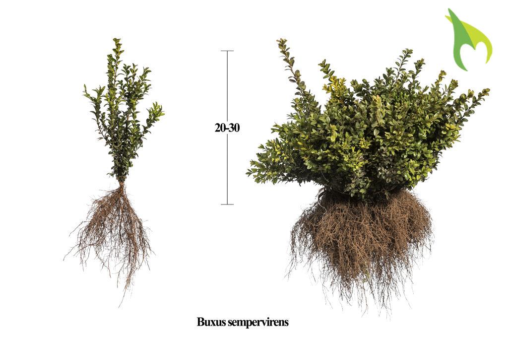 Buchsbaum (20-30 cm) Wurzelware
