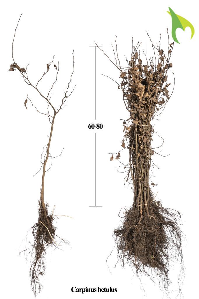 Hainbuche (60-80 cm) Wurzelware