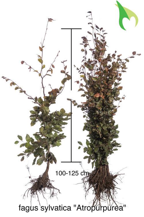 Blutbuche (100-125 cm) Wurzelware