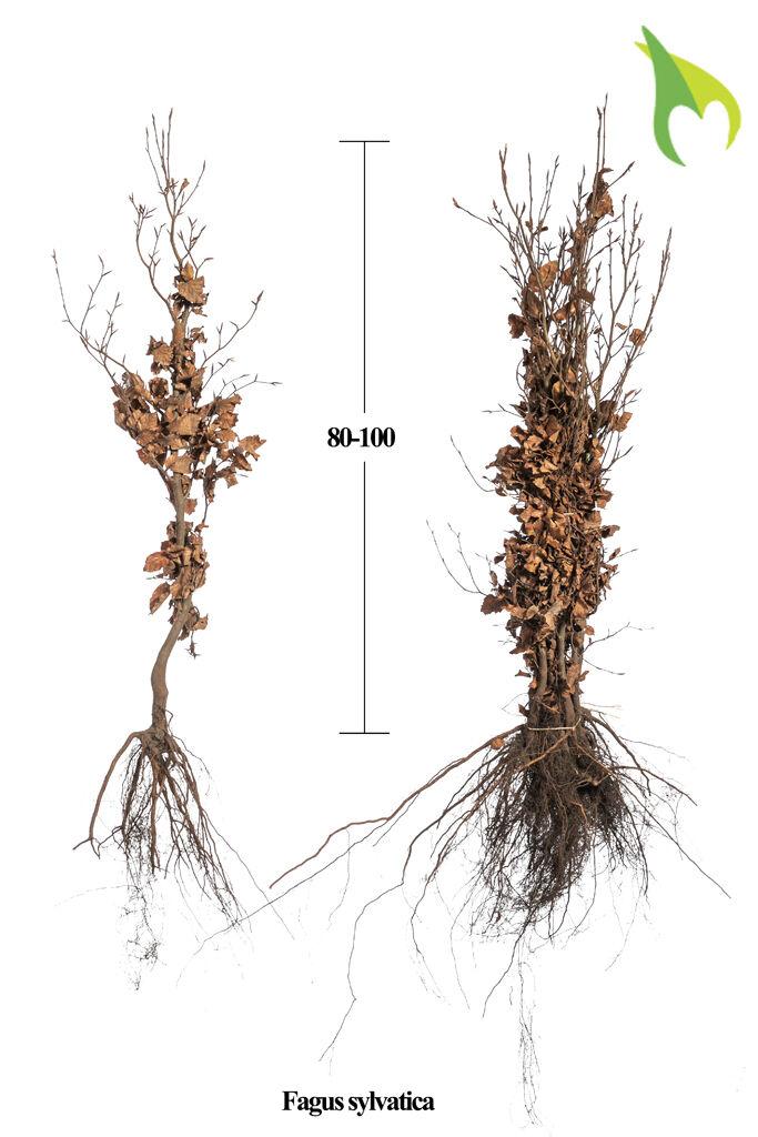 Rotbuche (80-100 cm) Wurzelware