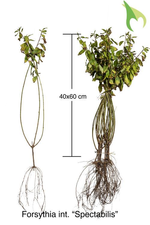 Forsythie 'Spectabilis' (40-60 cm) Wurzelware