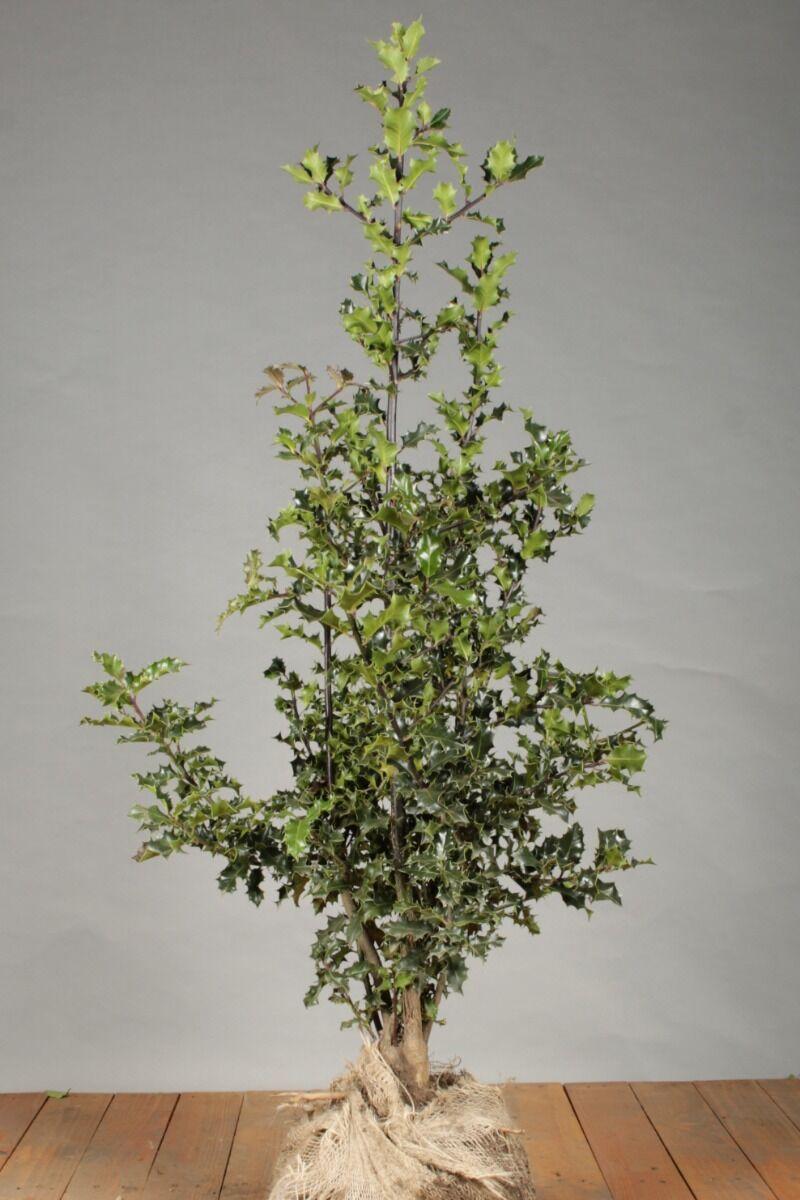 Stechpalme Ilex 'Alaska' (100-125 cm) Wurzelballen