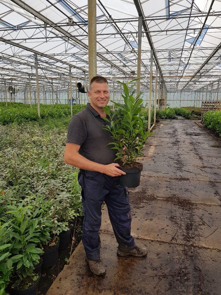 Kirschlorbeer 'Genolia' (60-80 cm) Topf