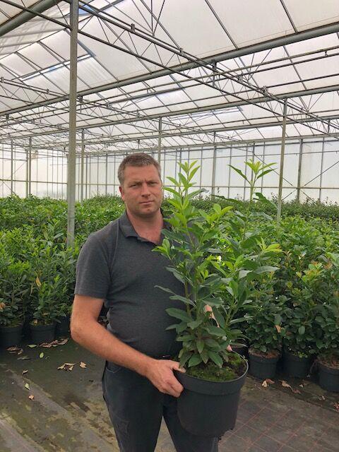 Kirschlorbeer 'Genolia' (80-100 cm) Topf