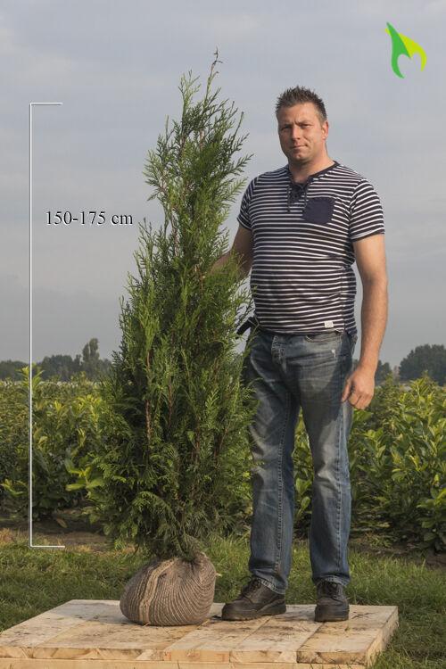 Lebensbaum 'Atrovirens' (150-175 cm) Wurzelballen