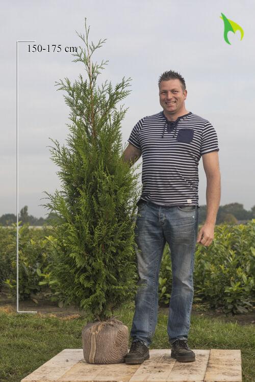 Lebensbaum 'Atrovirens' (175-200 cm) Wurzelballen