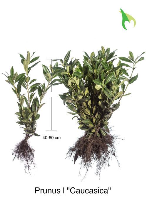 Kirschlorbeer 'Caucasica' (40-60 cm) Wurzelware