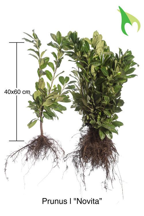 Kirschlorbeer Novita (40-60 cm) Wurzelware