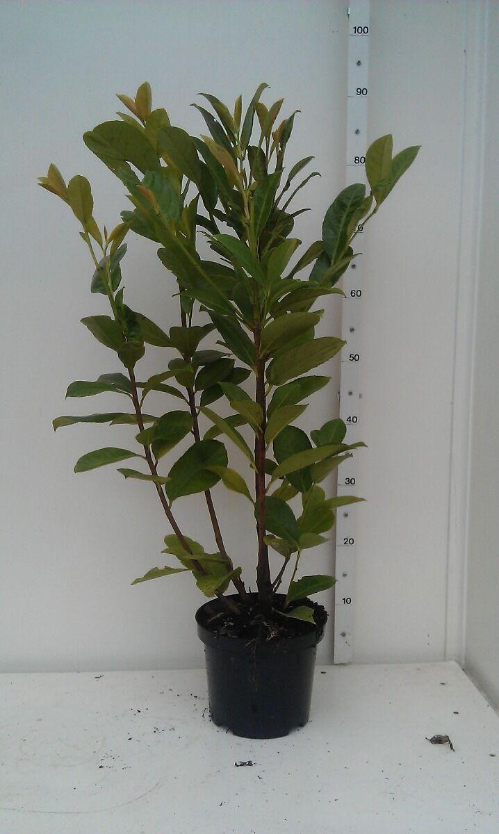 Kirschlorbeer 'Novita' (60-80 cm) Topf
