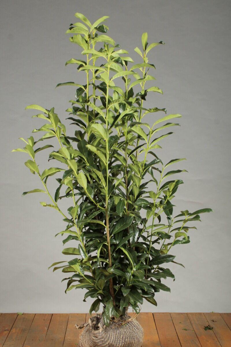 Kirschlorbeer 'Genolia' (125-150 cm) Extra Qualtität Wurzelballen