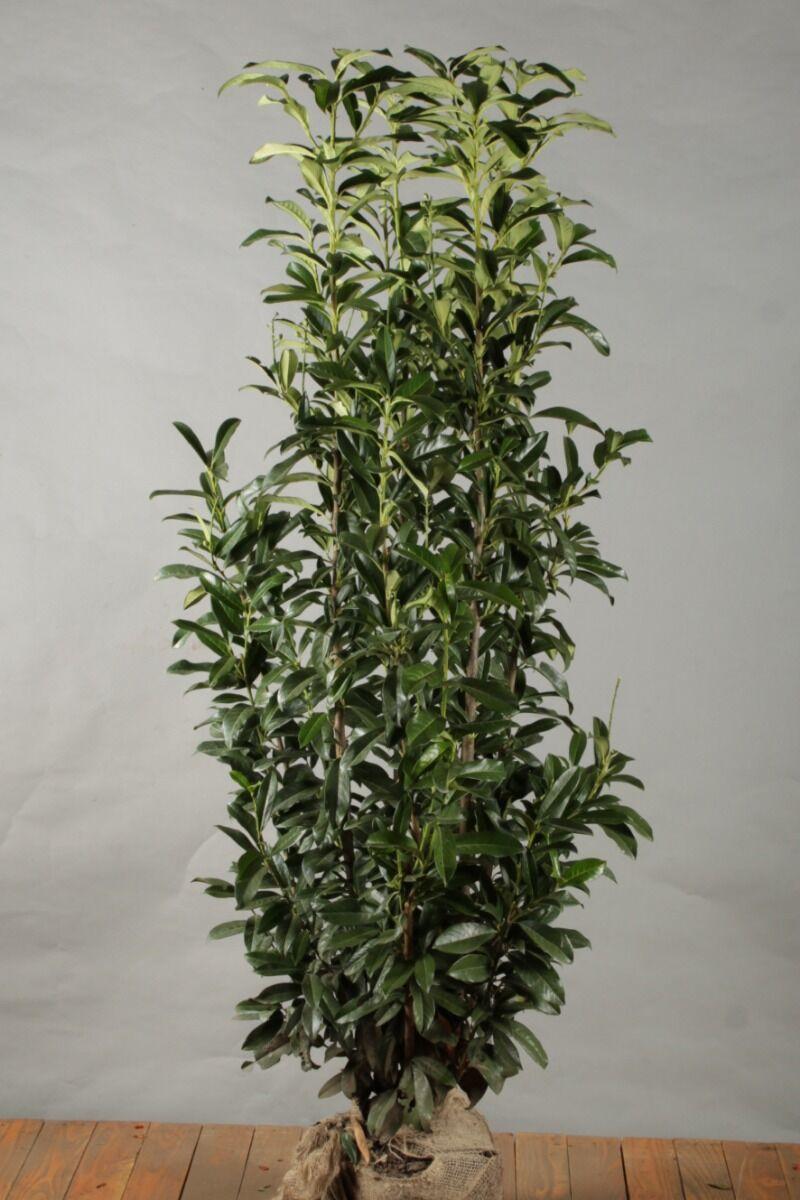 Kirschlorbeer 'Genolia' (175-200 cm) Extra Qualtität Wurzelballen