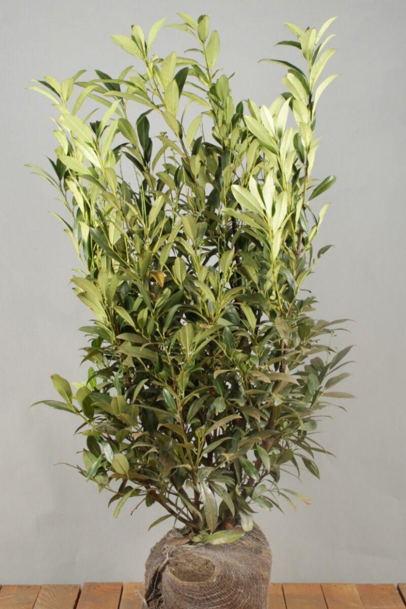 Kirschlorbeer 'Herbergii' (100-125 cm) Extra Qualtität Wurzelballen