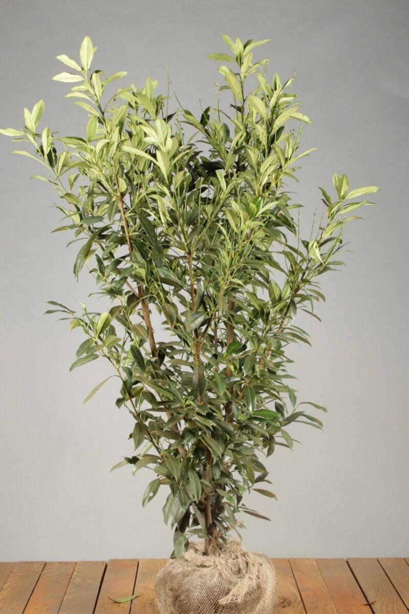 Kirschlorbeer 'Herbergii' (125-150 cm) Extra Qualtität Wurzelballen