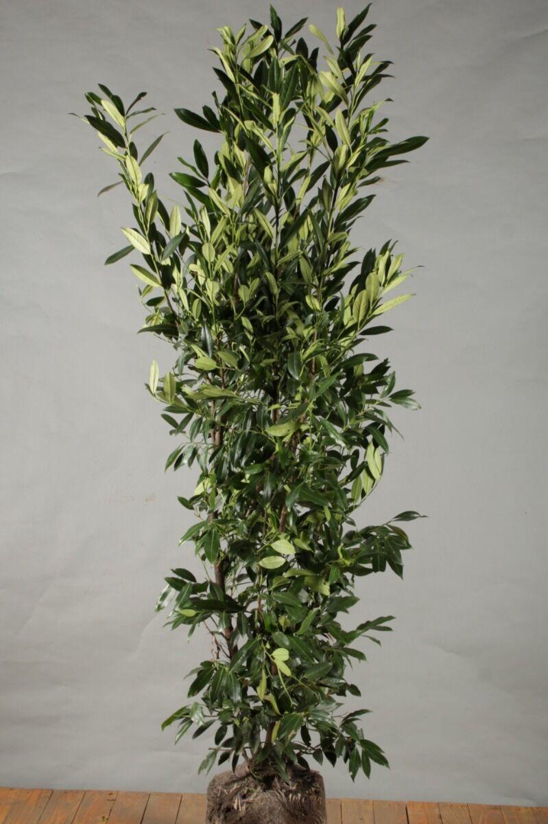 Kirschlorbeer 'Herbergii' (150-175 cm) Wurzelballen
