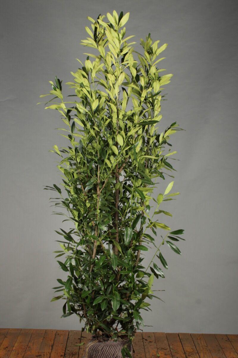 Kirschlorbeer 'Herbergii' (175-200 cm) Wurzelballen