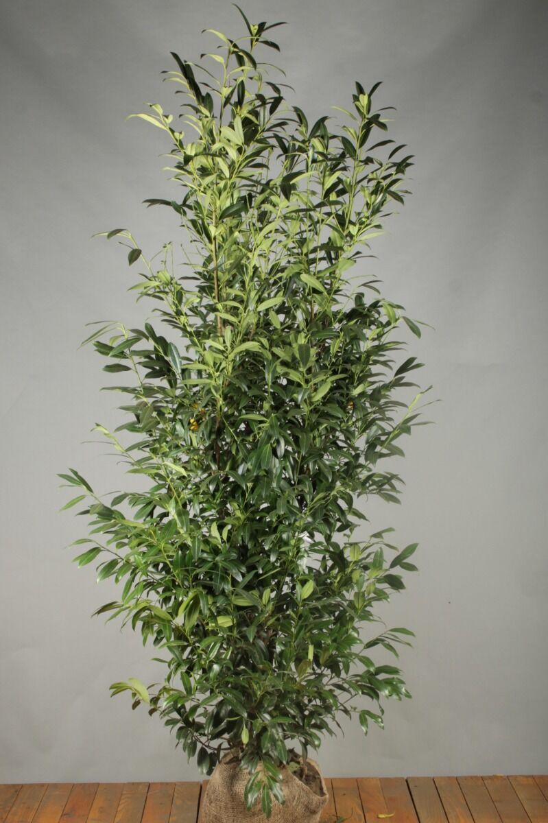 Kirschlorbeer 'Herbergii' (200-225 cm) Extra Qualtität Wurzelballen