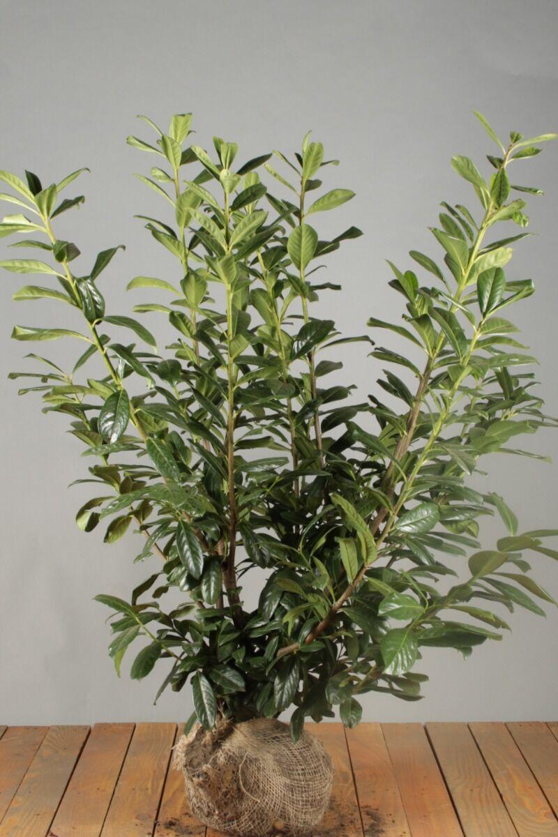 Kirschlorbeer 'Novita' (100-125 cm) Extra Qualtität Wurzelballen