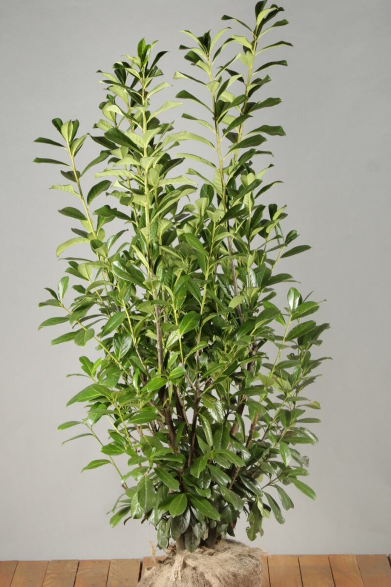 Kirschlorbeer 'Novita' (125-150 cm) Extra Qualtität Wurzelballen