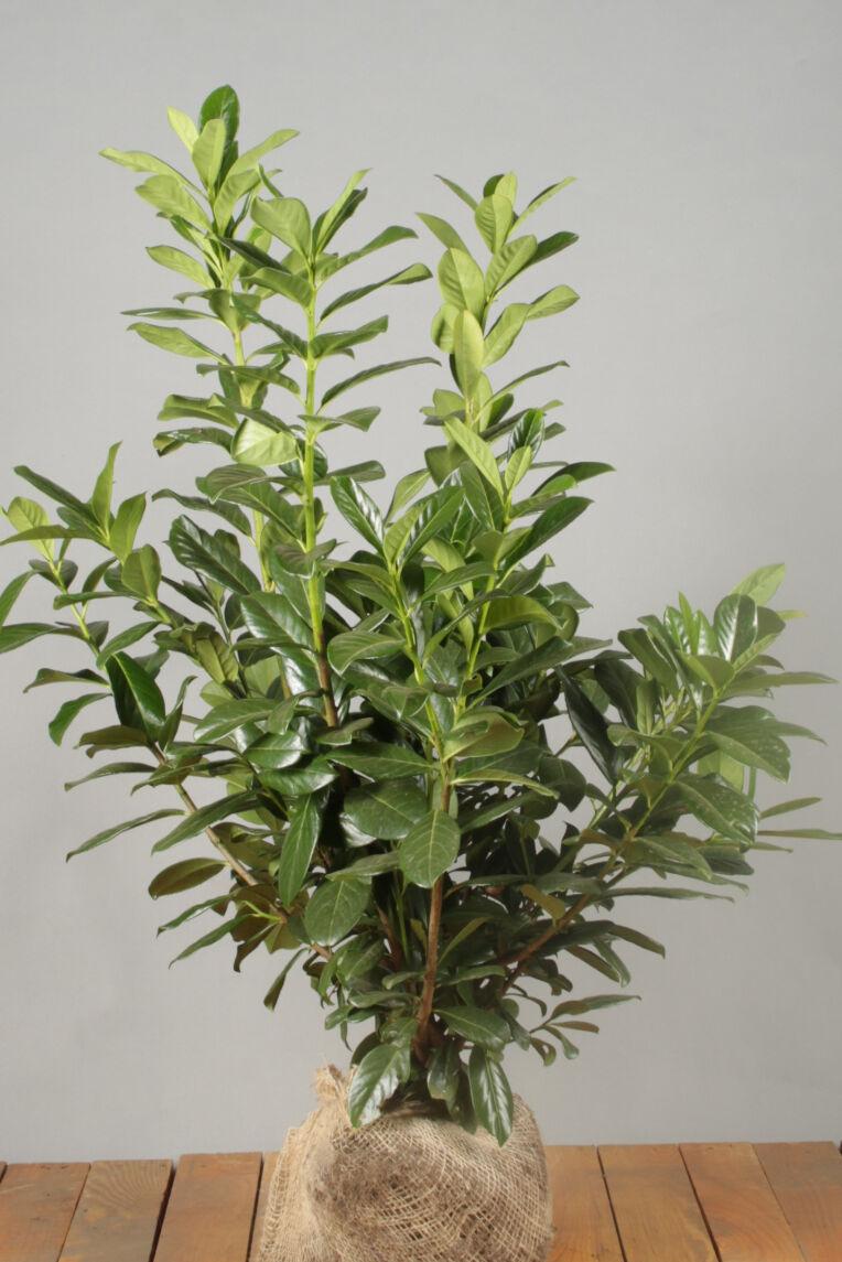 Kirschlorbeer 'Novita' (80-100 cm) Extra Qualtität Wurzelballen