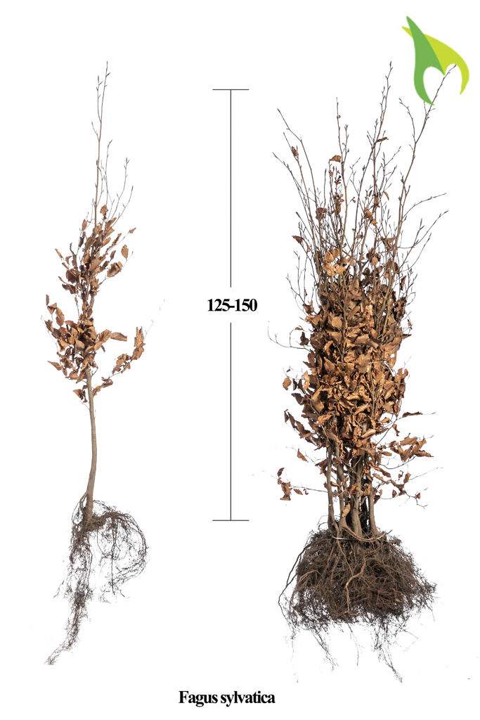 Rotbuche (125-150 cm) Wurzelware