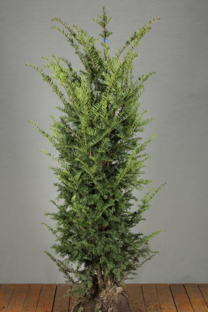 Eibe (150-175 cm) Extra Qualtität Wurzelballen