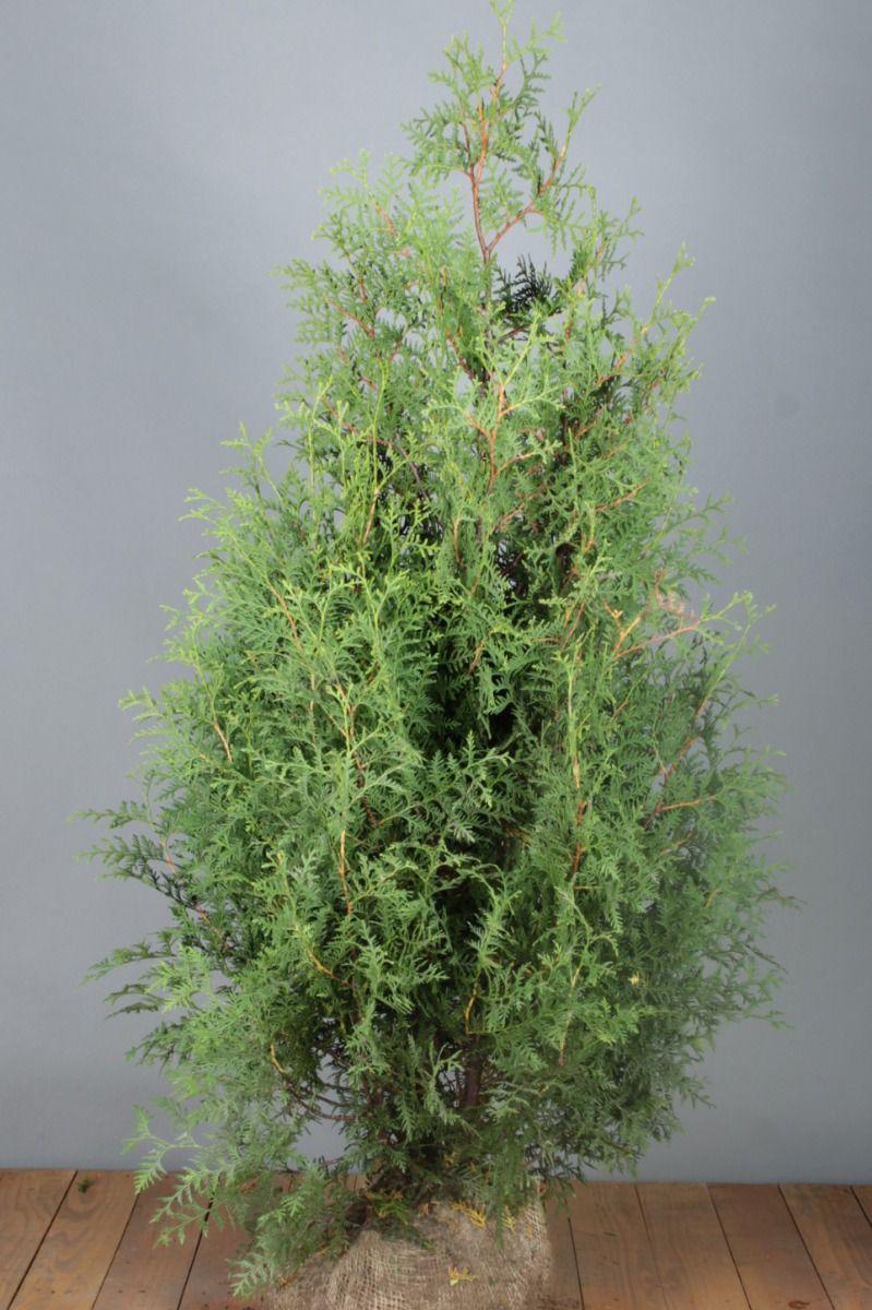 Lebensbaum 'Brabant' (125-150 cm) Extra Qualtität Wurzelballen