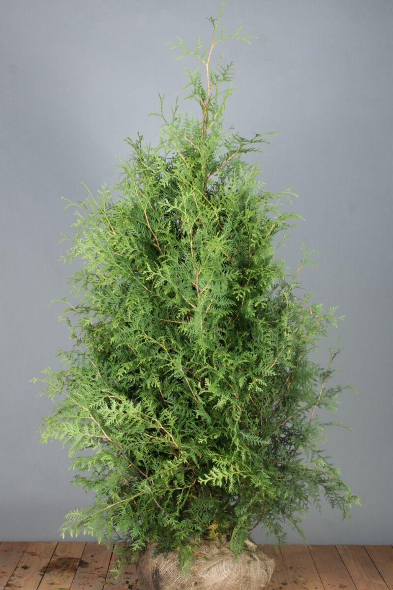 Lebensbaum 'Brabant' (150-175 cm) Extra Qualtität Wurzelballen