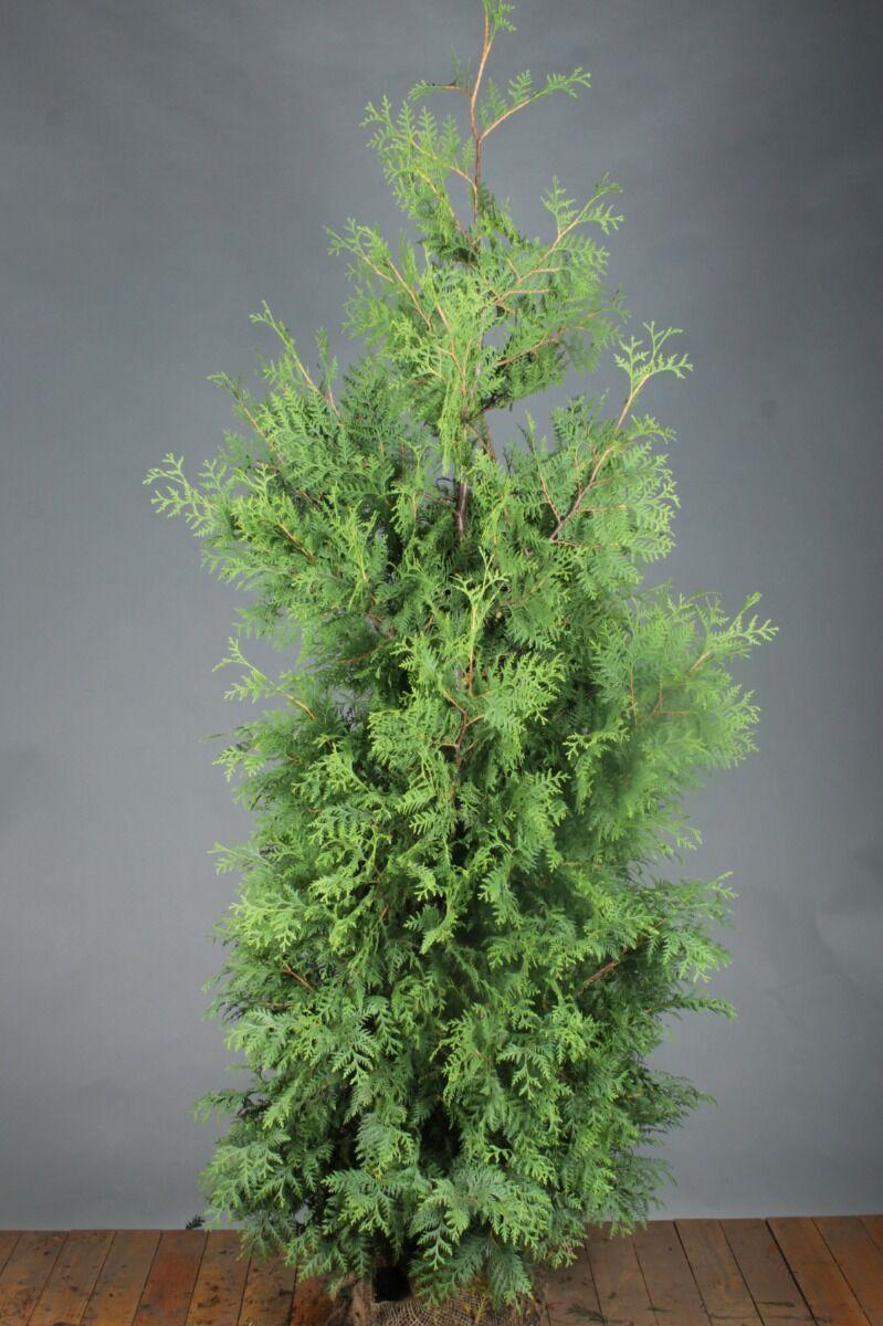 Lebensbaum 'Brabant' (200-225 cm) Extra Qualtität Wurzelballen