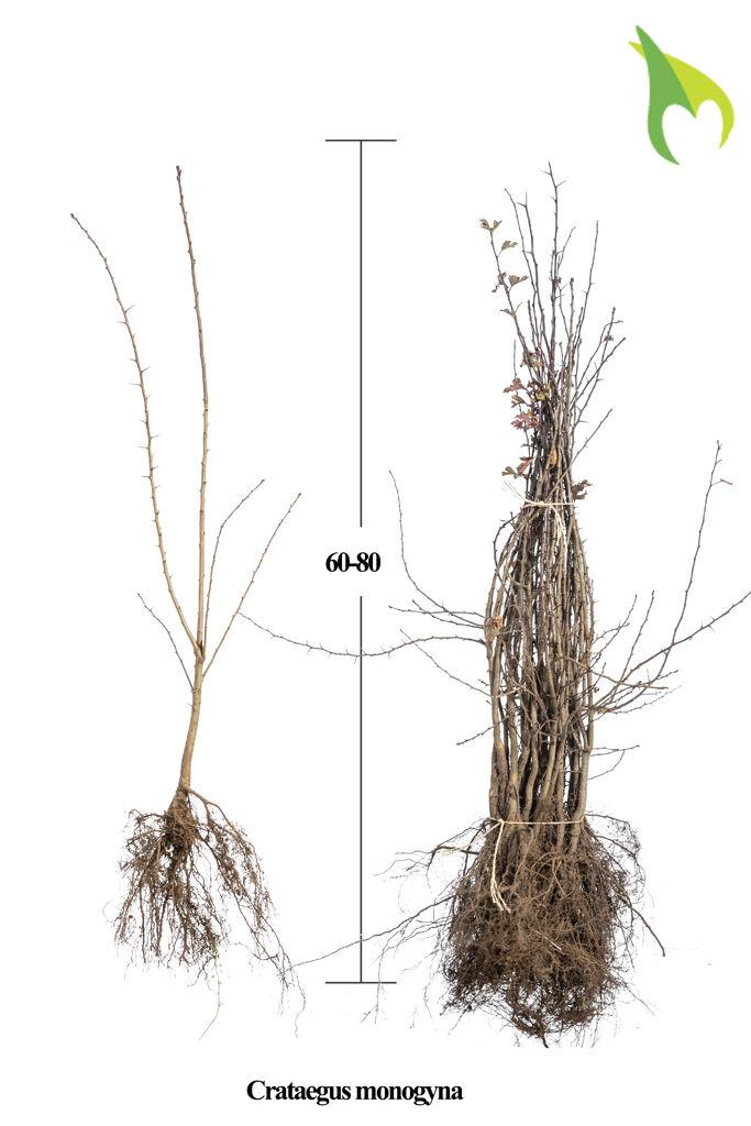 Eingriffeliger Weissdorn (60-80 cm) Wurzelware