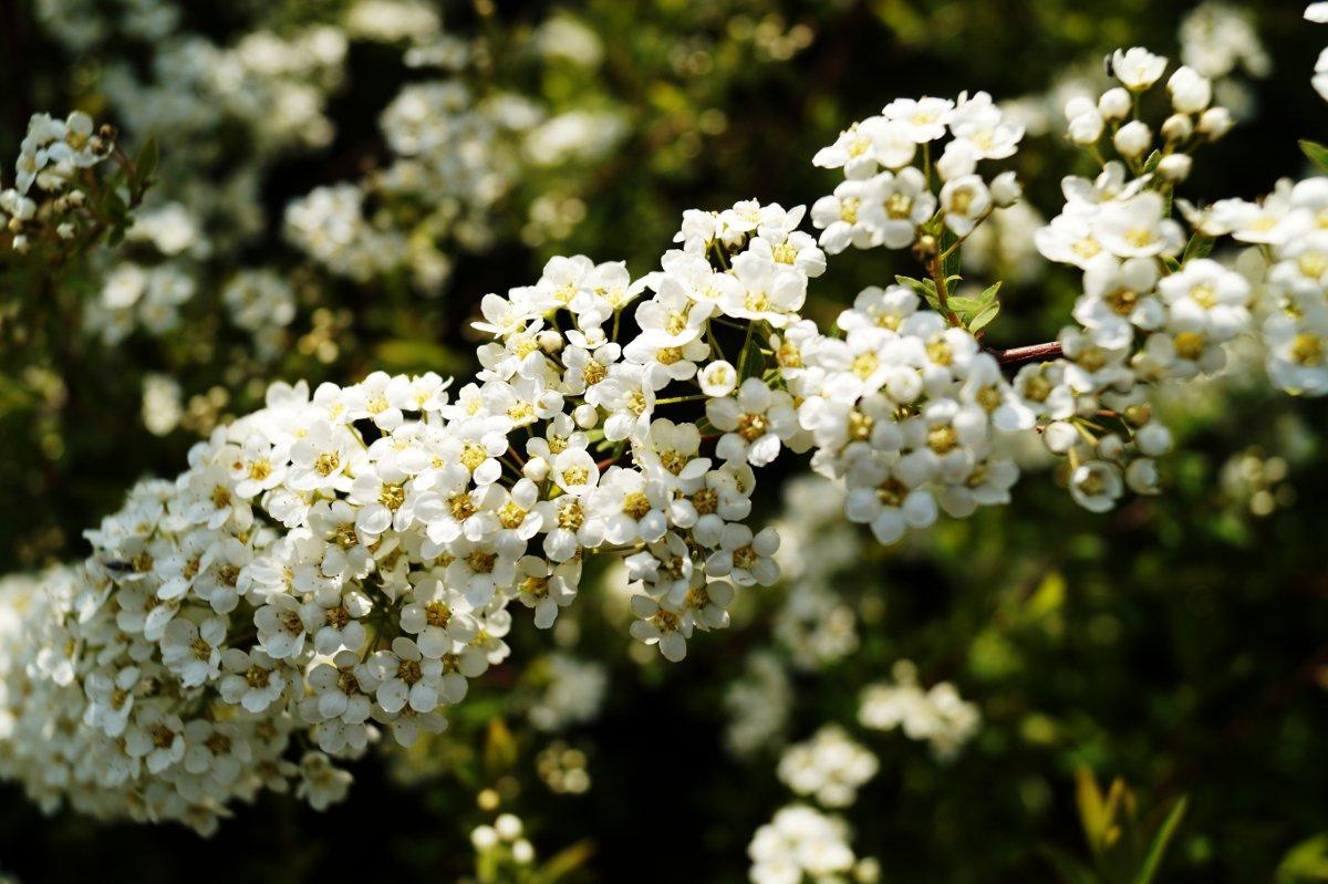 Frühe Brautspiere, Weiße Rispenspiere 'Grefsheim'
