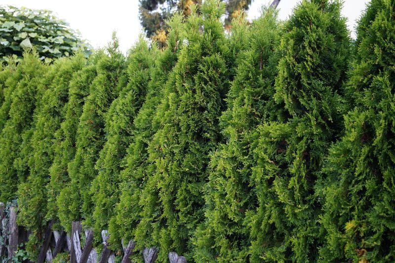 Lebensbaum 'Smaragd'